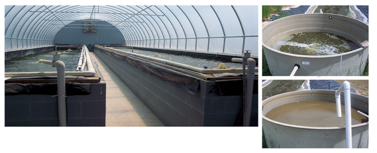 Article image for Sequencing batch reactors effectively treat shrimp aquaculture wastewater