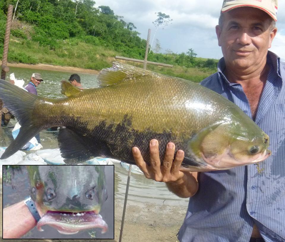 Article image for Aquaculture of Amazon fish in Latin America