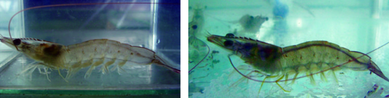 Article image for Temperature affects feeding behavior of Pacific white shrimp