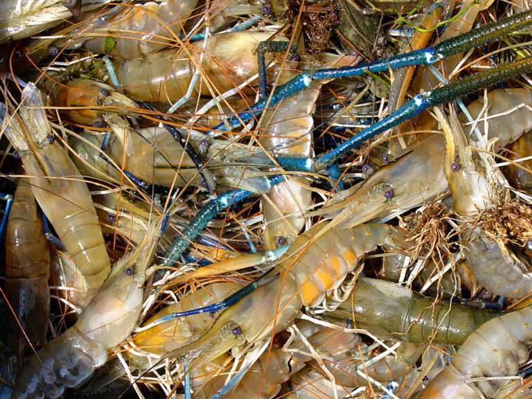 Article image for Feeding strategy supports freshwater prawns without fishmeal, fish oil