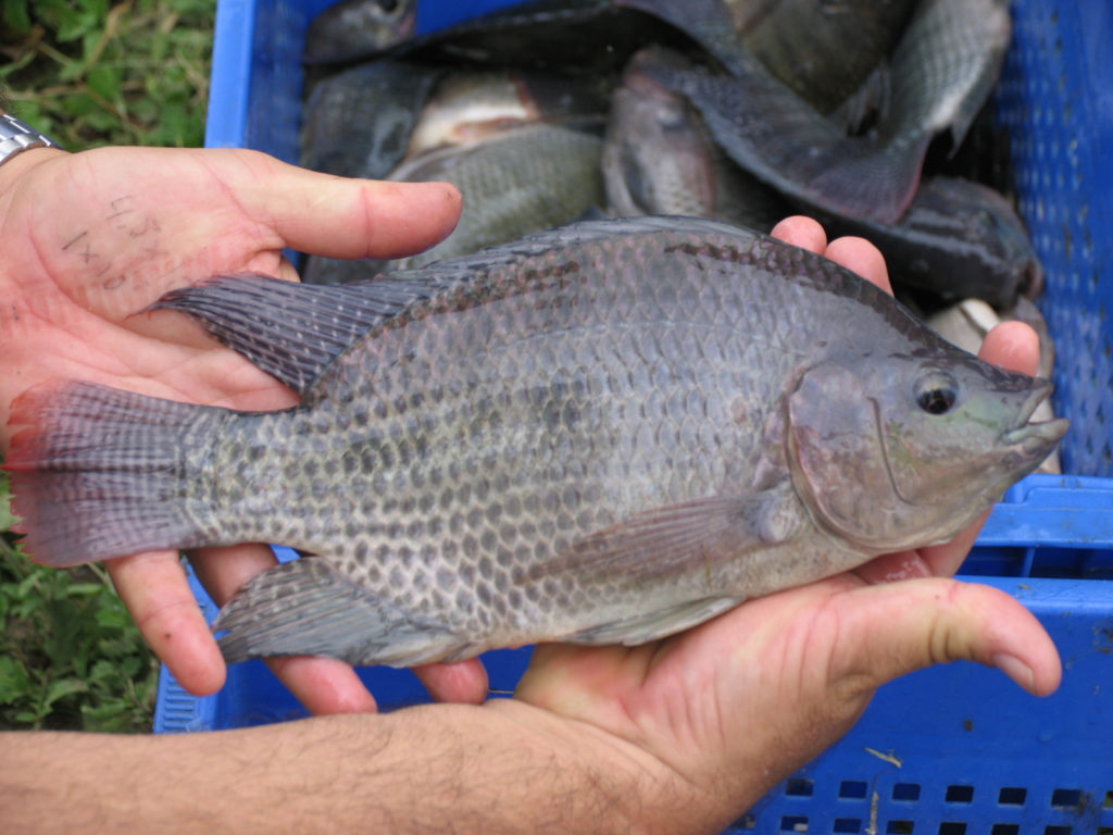 Article image for 10 paths to low productivity and profitability with tilapia in sub-Saharan Africa