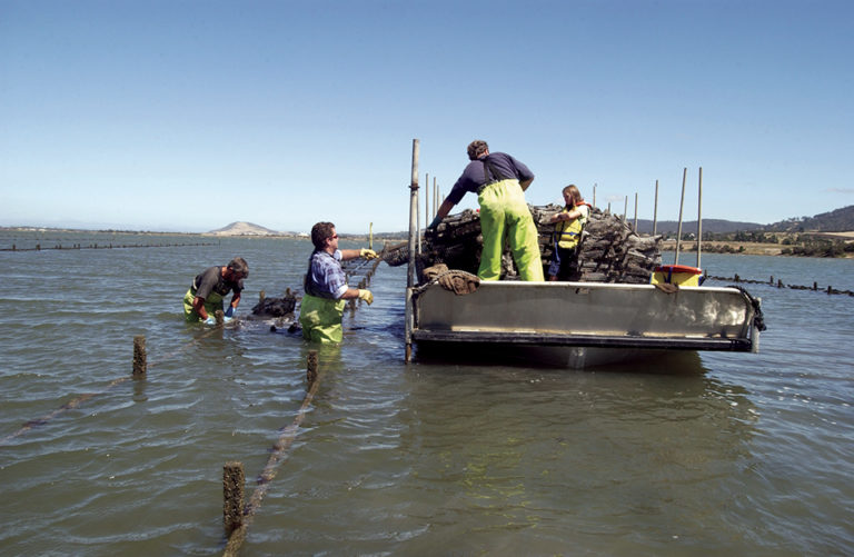 Article image for Pacific oyster selective breeding in Australia
