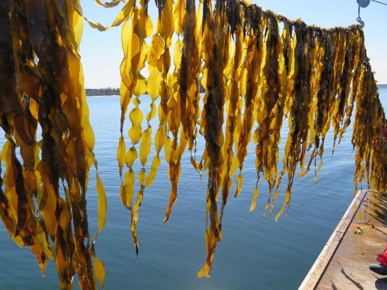 Article image for Esbeltos y verdes, ¿qué no es de querer sobre las kelps marinos?