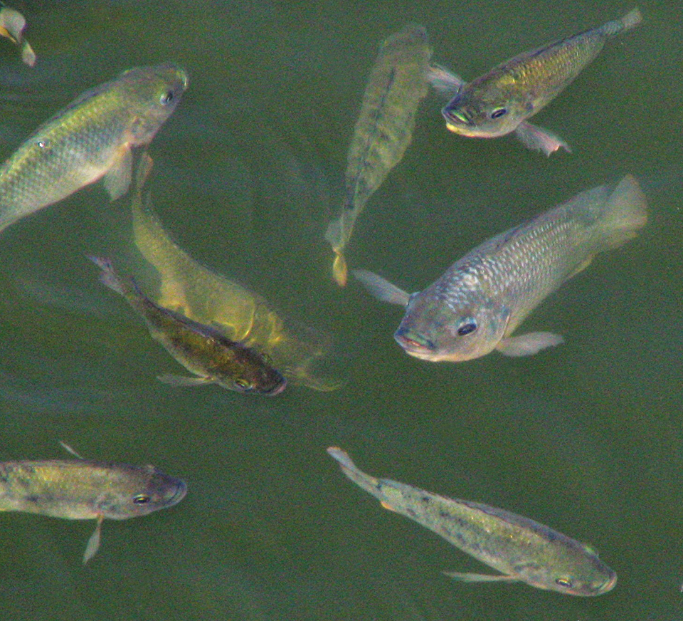 Article image for Dietary potassium diformate improves growth performance of male Nile tilapia