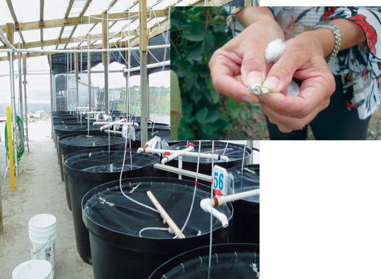 Article image for Glandless cottonseed meal replaces fishmeal in shrimp diet research