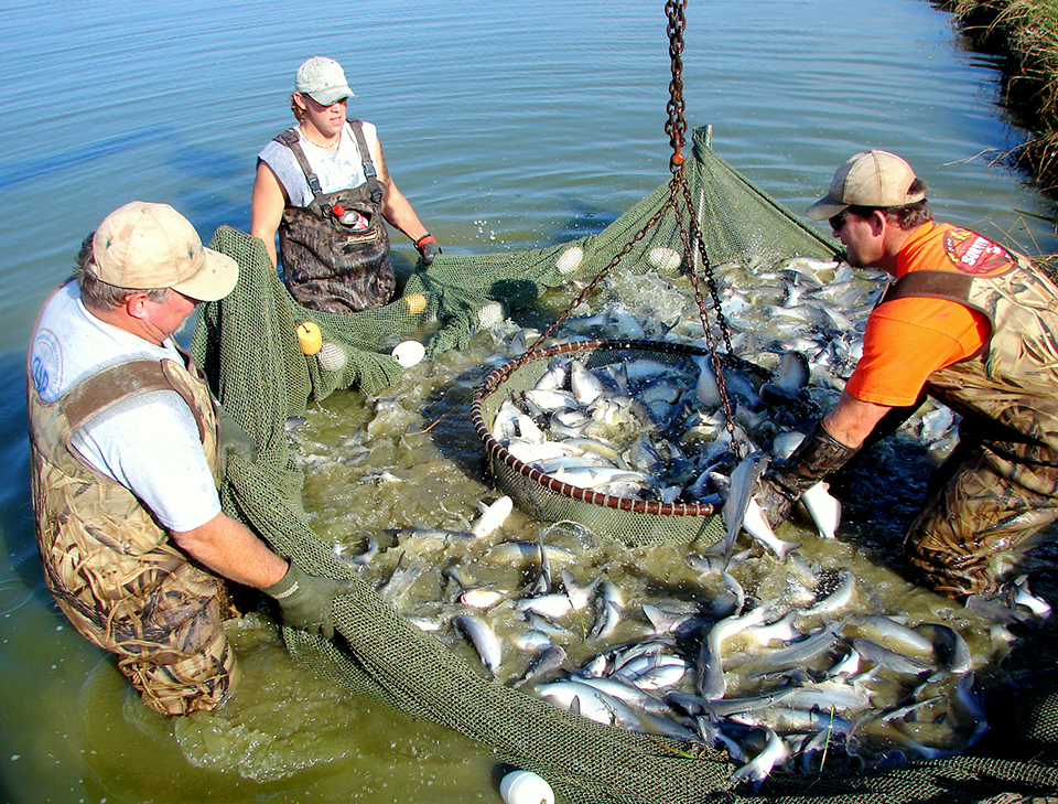 Article image for Blue catfish outproduce channel catfish under low-D.O. conditions
