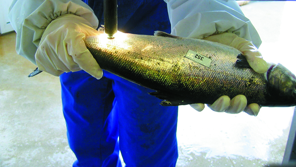 Article image for Innovative techniques achieve more cost-efficient salmon selective breeding