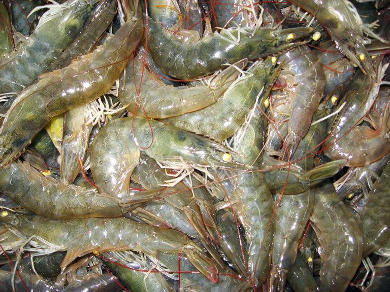 Article image for Los Europeos necesitan una nueva narrativa de camarón