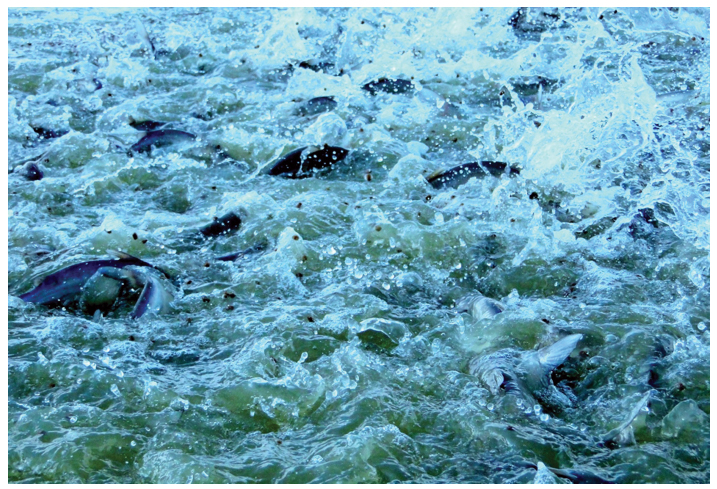 Article image for Oxygen management improves channel catfish growth, FCR