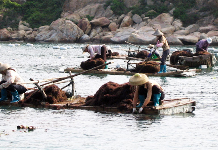 Article image for Gracilaria cultivation can provide bioremediation in Chinese mariculture
