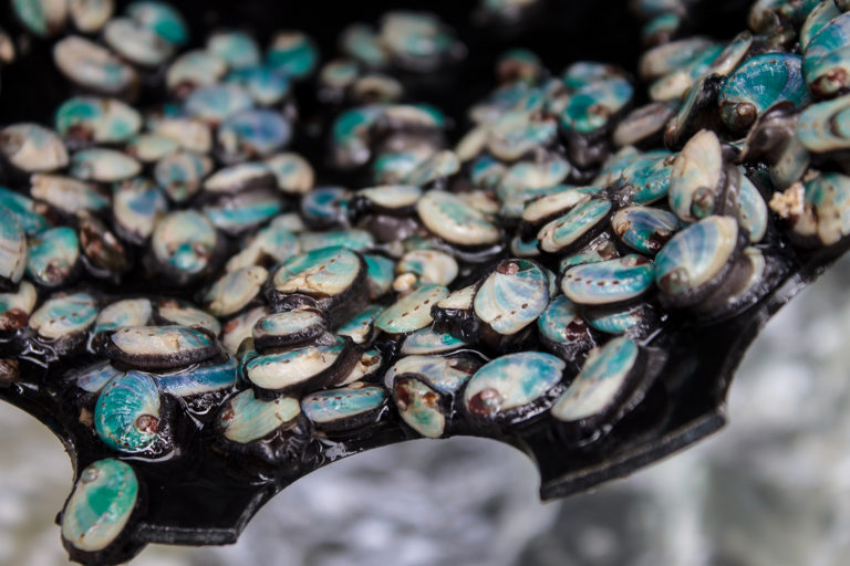 Article image for In South Africa, abalone farming goes for gold