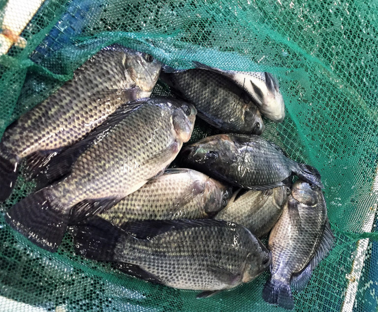 Article image for Effects of combining two exogenous carbohydrases on growth of Nile tilapia