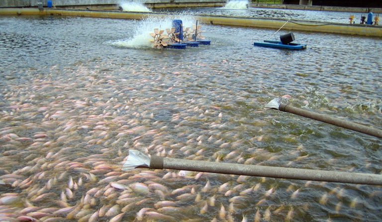 Article image for Organic acids potential replacement for antibiotic treatments of tilapia