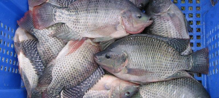 pesces