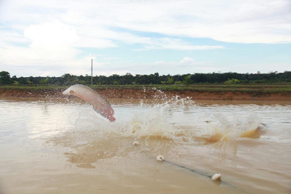 Amazonian pirarucu