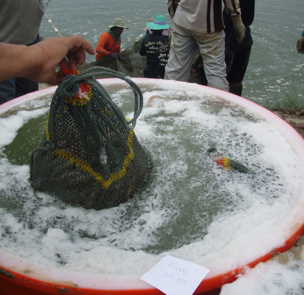Article image for Evaluating stunning methods in tropical shrimp aquaculture