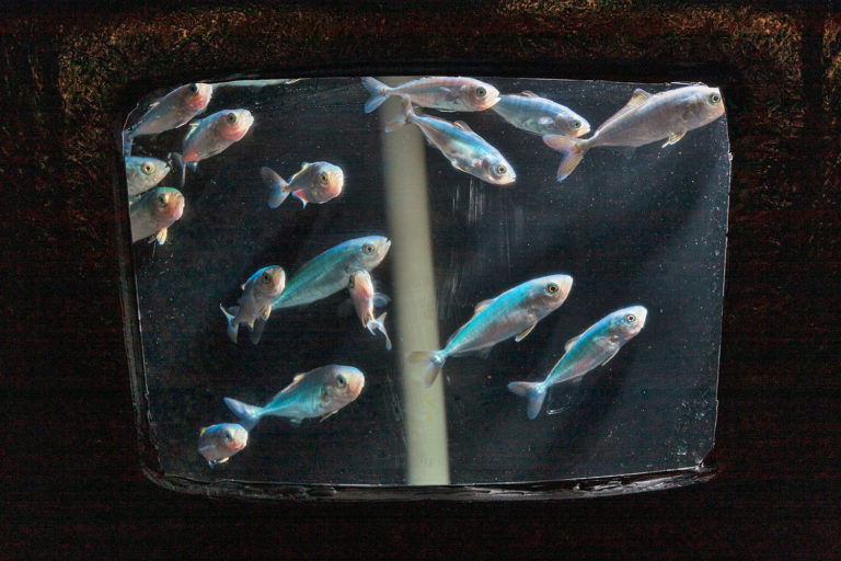 Article image for Efficacy of saturated lipids in juvenile California yellowtail feeds