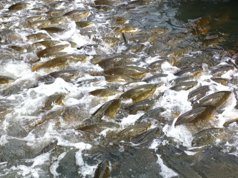 Article image for Evaluating soybean-based diets for cage-raised red drum