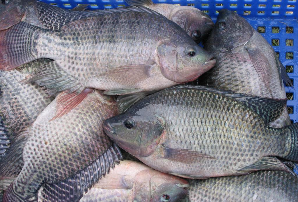 Article image for Producción de tilapia enriquecida con omega-3 a través de dieta de harina de algas o aceite de pescado