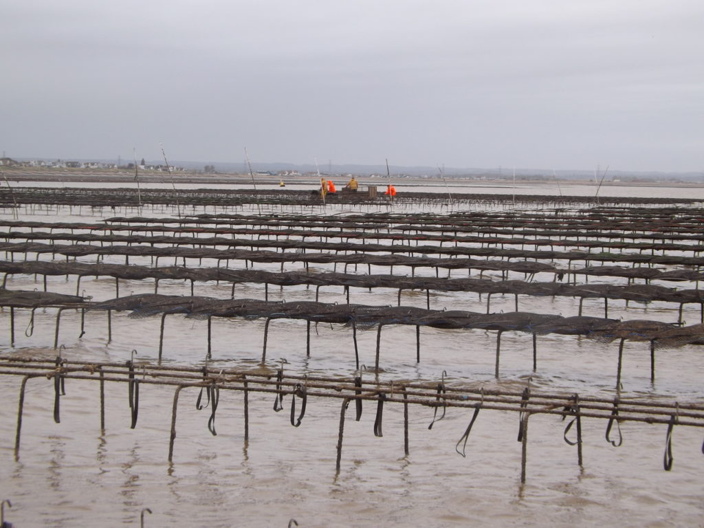 Article image for Aquaculture has put the oysters back in Oyster Town