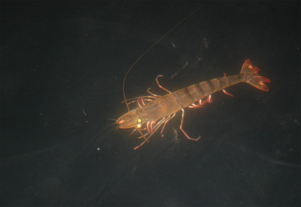 Article image for Investigadores de Stirling identifican alternativas de ablación viables para criaderos de camarón