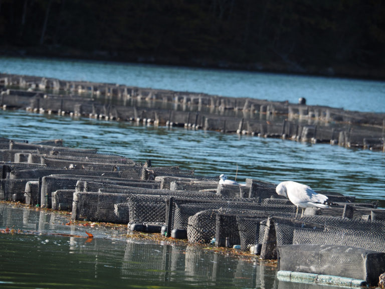 Article image for Shellfishiency: Oyster farmers step boldly into the digital age