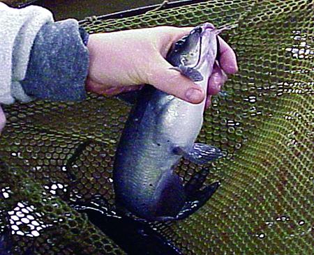Article image for Arginine: Essential elementin fish nutrition, health