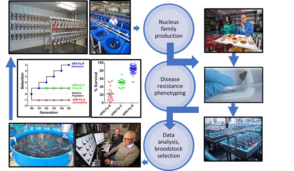 Article image for Mejora genética de la resistencia a enfermedades a través de la cría selectiva