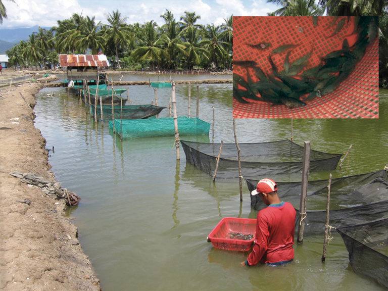 Article image for Marine, brackishwater finfish culture in Indonesia