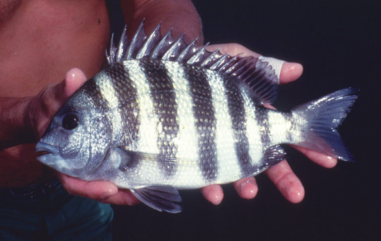 Article image for Sheepshead: American sea bream shows culture potential