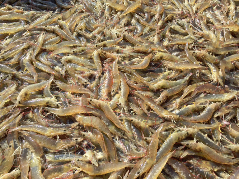 Article image for Shrimp feed sustainability conundrum: Fishmeal substitution