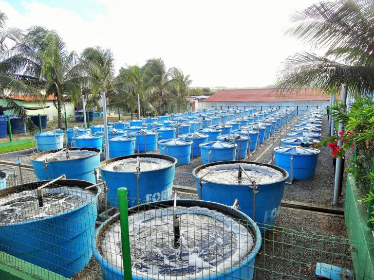 Article image for Efecto de alimentaciones múltiples y una dieta baja en harina de pescado, suplementada con aminoácidos, en el camarón blanco del Pacífico