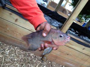 Member Feature Urban Fish Farm