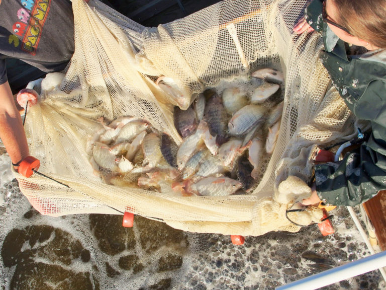 Article image for Hybrid tilapia culture in an outdoor biofloc production system