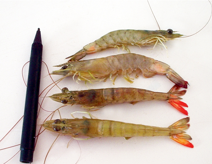 Article image for Southern brown shrimp found susceptible to IMNV