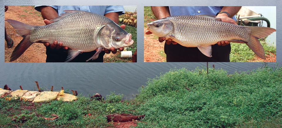 Article image for Carp polyculture in India