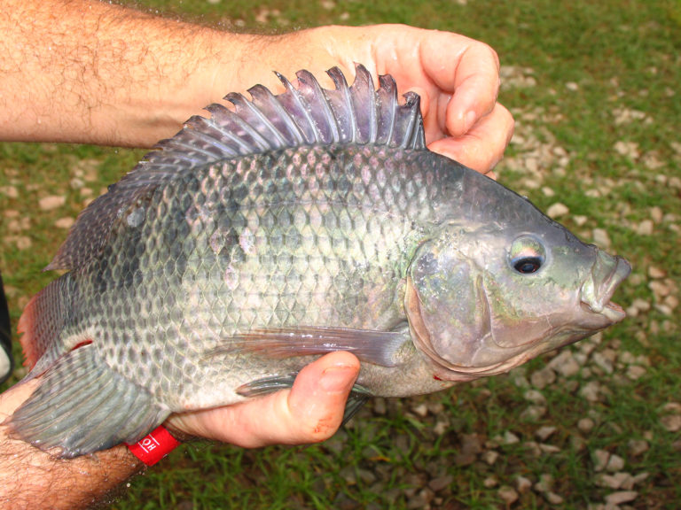 Article image for Replacing dietary fish oil with palm oil in Nile tilapia