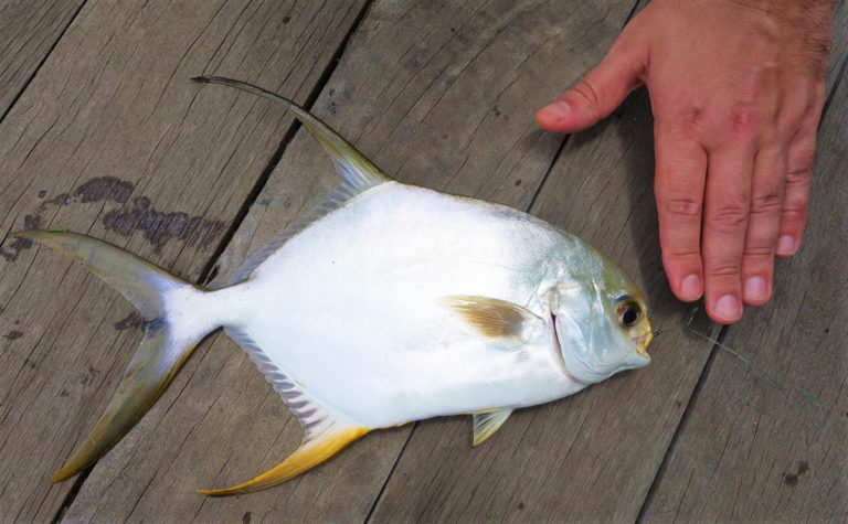 Article image for Intercropping silver pompano and shrimp in India