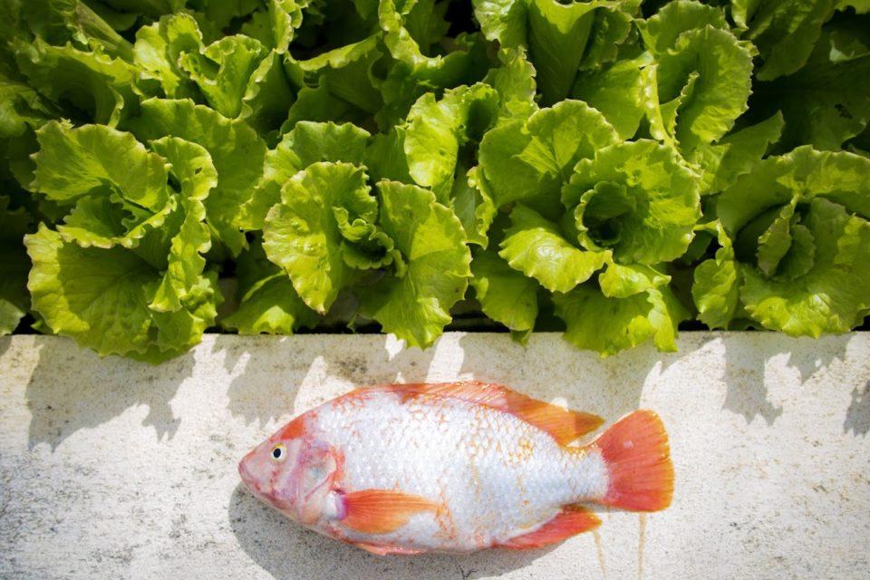 Bahamian aquaponics growing the next wave of aquaculture advocates