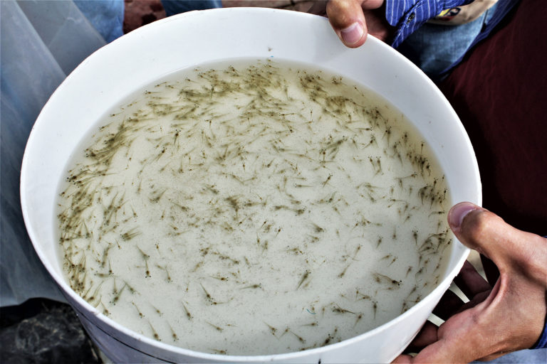 Article image for Efficacy of natural products and antibiotics in shrimp hatcheries