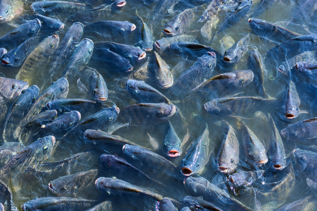 Article image for Researchers examine antimicrobial resistance potential in aquaculture