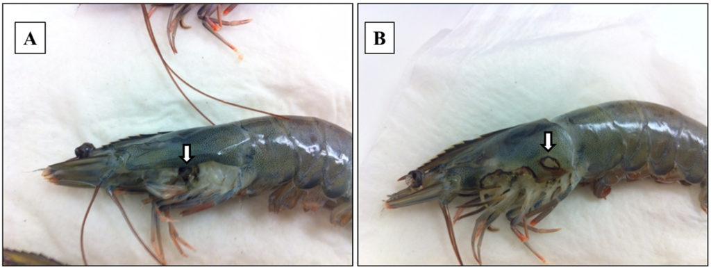 Article image for Detección de un parásito amebiano en camarón blanco del Pacífico cultivado