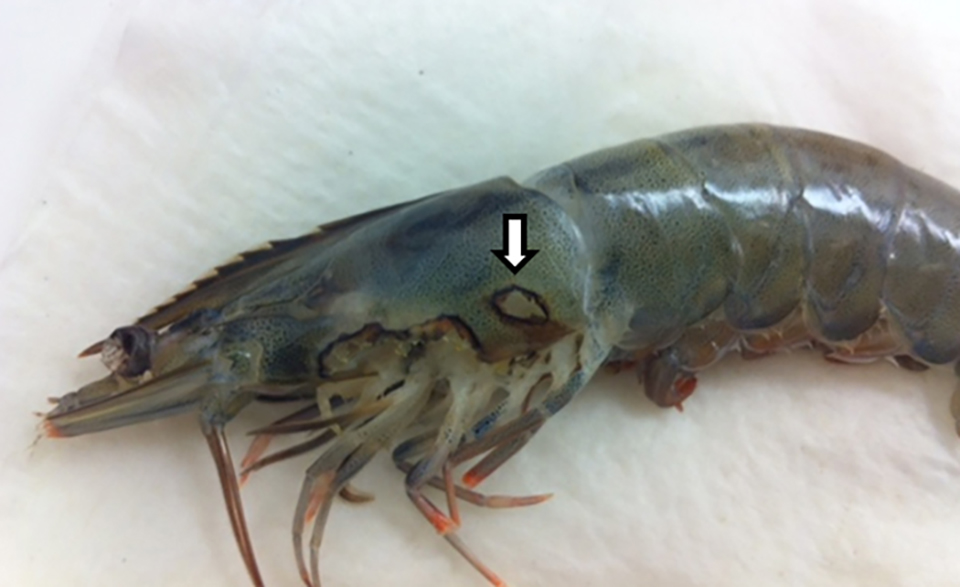 Article image for Detection of an amoebic parasite in cultured Pacific white shrimp