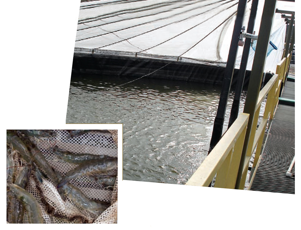 Article image for Commercial-scale RAS trial yields record shrimp production