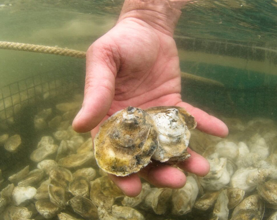 oyster disease