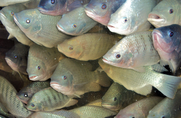 Article image for Trace minerals in tilapia fillets, part 2