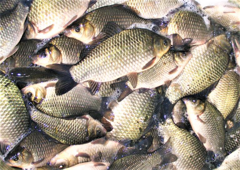 Article image for Prevención de la alta toxicidad inducida por amoníaco en peces cultivados