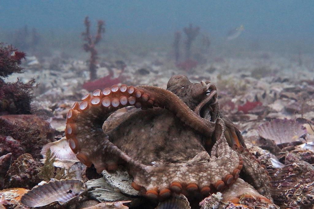 Article image for Octopus aquaculture – unethical or the next Big Thing?