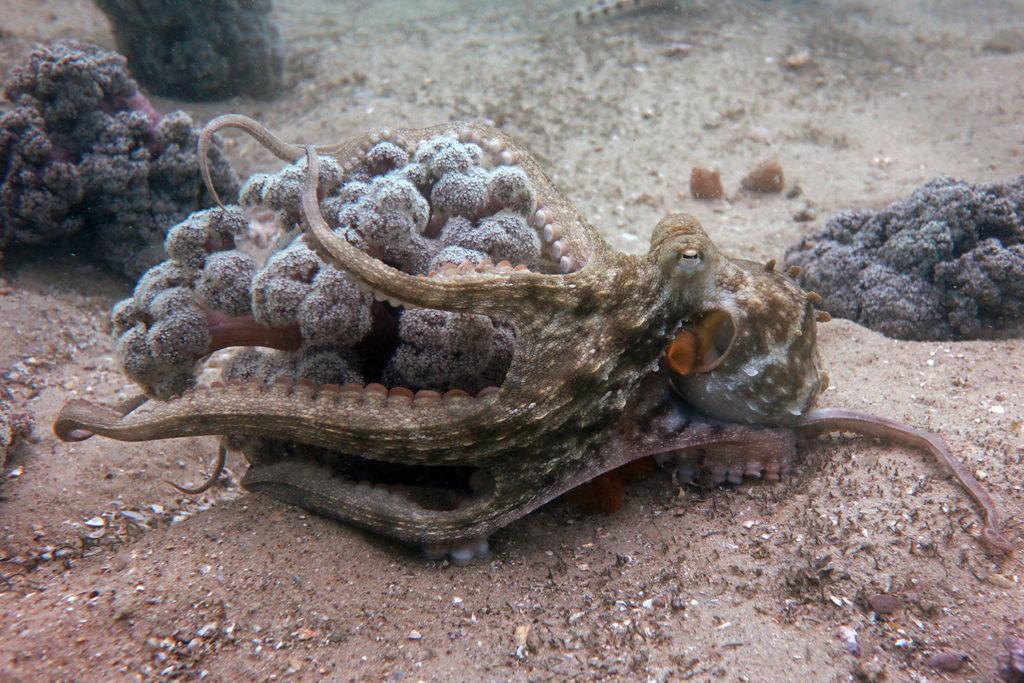 Article image for Acuacultura de pulpos: ¿no ético o la próxima gran cosa?