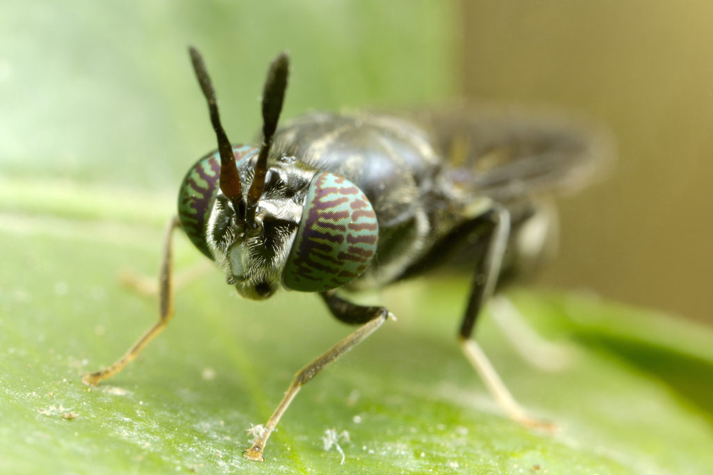 Article image for Fly guys: Canada opens the door for insect-based feed companies